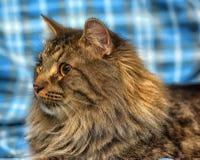 美丽的棕色西伯利亚猫在蓝色说谎 免版税库存照片