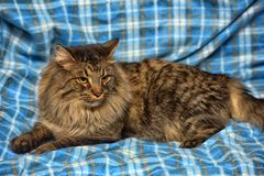 美丽的棕色西伯利亚猫在蓝色说谎 图库摄影