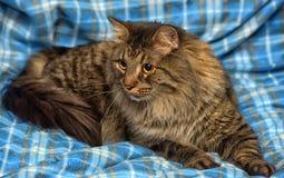 美丽的棕色西伯利亚猫在蓝色说谎 库存照片