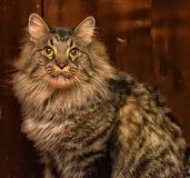 美丽的棕色西伯利亚猫 免版税图库摄影