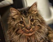 美丽的棕色西伯利亚猫 免版税库存图片