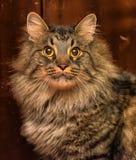 美丽的棕色西伯利亚猫 图库摄影