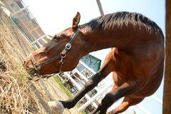美丽的棕色马在一个农场吃草在一个晴天 免版税图库摄影