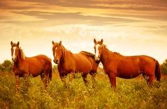 美丽的棕色马在好的日落天空期间的绿色草甸 库存照片