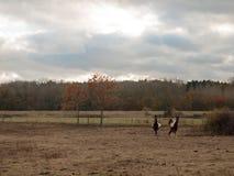 美丽的棕色马在领域秋天风化公马 免版税库存图片