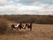 美丽的棕色马在领域秋天风化公马 库存图片