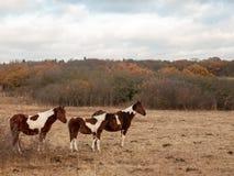 美丽的棕色马在领域秋天风化公马 图库摄影