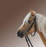 美丽的棕色马纵向 库存照片