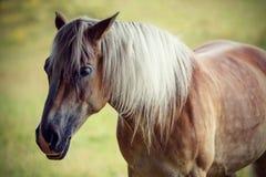 美丽的棕色马纵向 库存图片