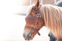 美丽的棕色马,人使用的被驯化的动物作为运输 免版税库存照片