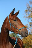 美丽的棕色马画象  免版税图库摄影