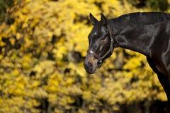 美丽的棕色马画象 库存照片