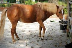 美丽的棕色马 免版税库存照片