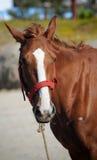 美丽的棕色马 库存照片