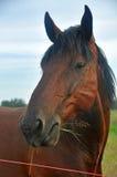 美丽的棕色马 免版税库存图片