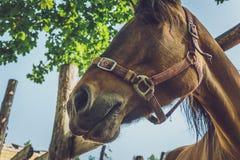美丽的棕色马头  库存照片