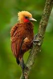 美丽的棕色鸟形式热带山森林栗子色啄木鸟, Celeus castaneus,与红脸的肌力鸟从Co 免版税库存图片