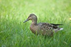 美丽的棕色鸭子 免版税库存图片