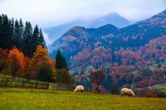 美丽的棕色绵羊在草坪站立 图库摄影