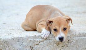 美丽的棕色stafford狗小狗 免版税图库摄影