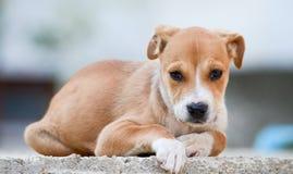 美丽的棕色stafford狗小狗 库存照片