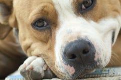 美丽的棕色stafford狗 免版税库存图片