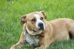 美丽的棕色stafford狗 库存照片