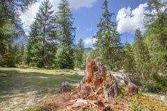 美丽的森林和腐烂的树干树 库存照片