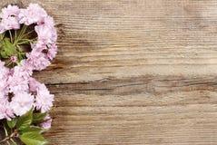 美丽的榆叶梅(李属triloba)在木背景 库存图片