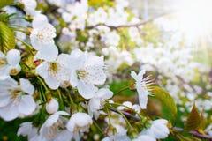 美丽的樱桃树开花在阳光下 免版税库存图片