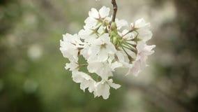 美丽的樱桃树开花 影视素材