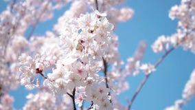 美丽的樱花佐仓在春天 股票录像