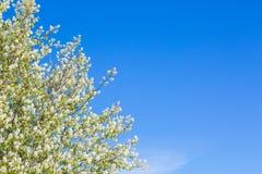美丽的樱花,抽象自然本底照片  库存照片