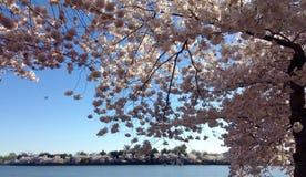 美丽的樱花 免版税图库摄影
