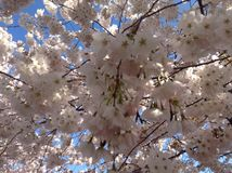 美丽的樱花 免版税库存图片
