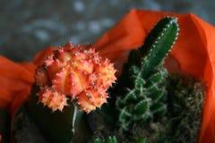 美丽的橙色仙人掌和在罐 免版税库存图片