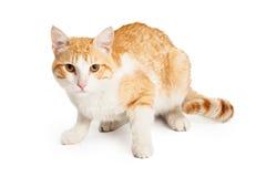 美丽的橙色和白色混杂的品种猫 库存图片