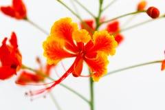美丽的橙色孔雀花 库存图片