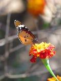美丽的橙色总督蝴蝶 免版税库存照片