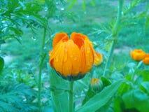 美丽的橙色春天花! 免版税库存照片