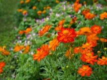 美丽的橙色波斯菊花 免版税库存照片
