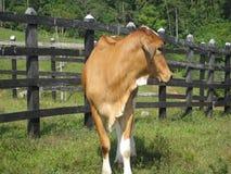 美丽的橙色牛肉封牛 库存图片