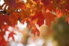 美丽的橙色秋天叶子 图库摄影