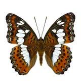 美丽的橙色蝴蝶,共同的司令员moduza procris 库存照片