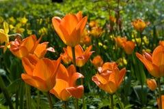 美丽的橙色郁金香 库存照片