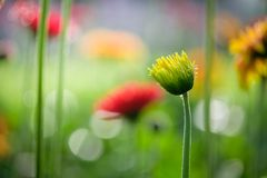 美丽的橙色,红色和黄色大丁草雏菊在庭院里 免版税库存图片