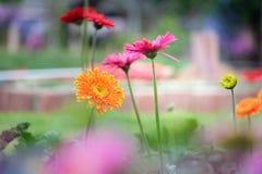 美丽的橙色,红色和黄色大丁草 免版税库存照片