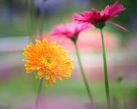 美丽的橙色,红色和黄色大丁草 库存照片