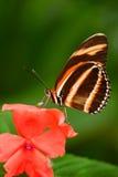 美丽的橙色蝴蝶斑马Longwing, Heliconius charitonius 蝴蝶在自然栖所 从哥斯达黎加的好的昆虫 小山 库存照片
