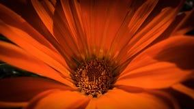 美丽的橙色dahila 库存图片